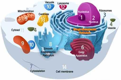 Organização-celular-dos-seres-vivos